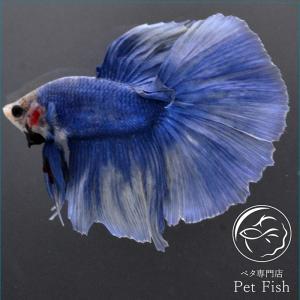 ベタ 熱帯魚 生体 ショーベタ グリッセル オス ブルー系|petfish