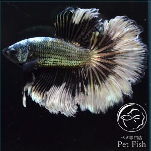 ベタ 熱帯魚 生体 ショーベタ カッパーバタフライ オス ブラック系|petfish