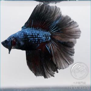ベタ 通販 静岡 熱帯魚 生体 ショーベタ フルムーン