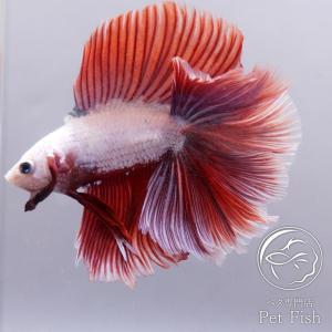ベタ 通販 静岡 熱帯魚 生体 ショーベタ フルムーン ダブルテール ラベンダー オス