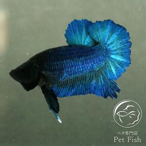ベタ 熱帯魚 生体 プラガット ロイヤルブルー オス