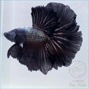 ベタ 熱帯魚 生体 ペア ブラックハーフムーン