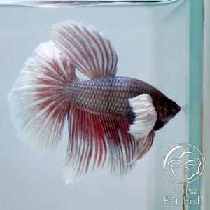 ベタ 熱帯魚 生体 ペア ダンボラベンダーハーフムーン