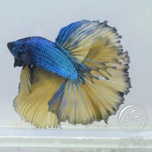 ベタ 熱帯魚 生体 ペア マスタードハーフムーン