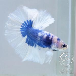 ベタ 熱帯魚 生体 ペア バタフライハーフムーン