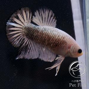 ベタ 熱帯魚 生体 プラガット カッパーホワイト オス