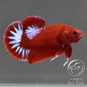 ベタ 熱帯魚 生体 プラガット ヘルボーイ オス