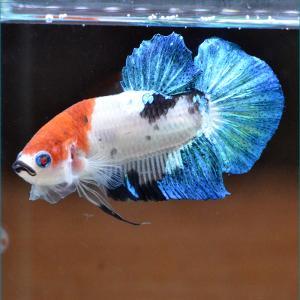 ベタ 熱帯魚 生体 マーブル オス