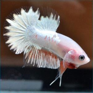 ベタ 熱帯魚 生体 プラカットビックテールカッパー 2577 オス|petfish