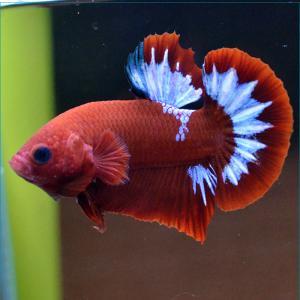 ベタ 熱帯魚 生体 ゴールド オス