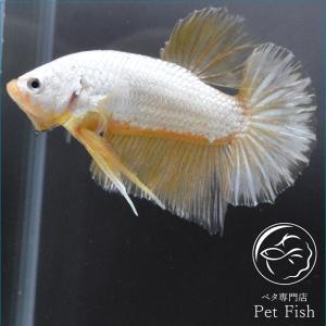 ベタ 熱帯魚 生体 プラカット イエロードラゴングリズリー オス|petfish