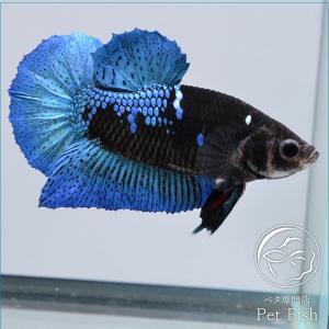 ベタ 熱帯魚 生体 プラカット ブルーブラック オス|petfish