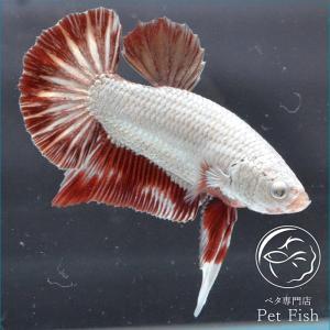 ベタ 熱帯魚 生体 プラカット レッドドラゴン オス|petfish