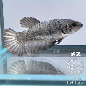 ベタ 熱帯魚 生体  プラカット カッパー メス 繁殖|petfish