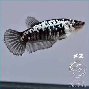ベタ 熱帯魚 生体  プラカット サムライ メス 繁殖|petfish
