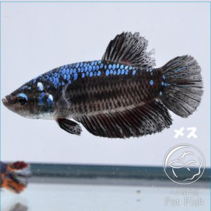 ベタ 熱帯魚 生体  プラカット ブルーブラック メス 繁殖|petfish