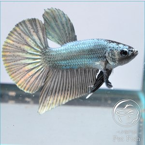 ベタ 熱帯魚 生体 プラカット カッパービックテール ブラック系 オス|petfish