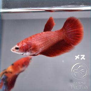 ベタ 熱帯魚 生体  ショーベタ  レッド  メス 繁殖 petfish