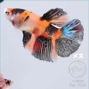 ベタ 熱帯魚 生体  ショーベタ  ニモ  メス 繁殖 petfish