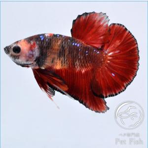 ベタ 熱帯魚 生体 プラカット コイ ビックテール レッド系 オス|petfish