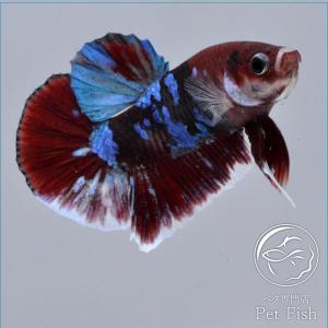 ベタ 熱帯魚 生体 プラカット レッドギャラクシー オス レッド系|petfish