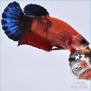 ベタ 熱帯魚 生体  プラカット ヘルボーイ メス 繁殖|petfish