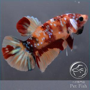 ベタ 熱帯魚 生体 プラカット ニモ オス レッド系|petfish