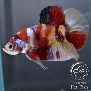 ベタ 熱帯魚 生体 プラカット ニモマルチ オス|petfish
