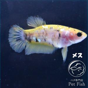 ベタ 熱帯魚 生体  プラカット イエローコイカッパー メス 繁殖|petfish