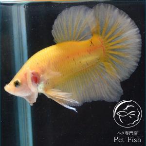 ベタ 熱帯魚 生体 プラカット イエロー オス|petfish