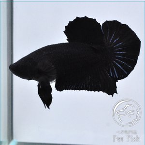 ベタ 熱帯魚 生体 プラカット スーパーブラック オス|petfish