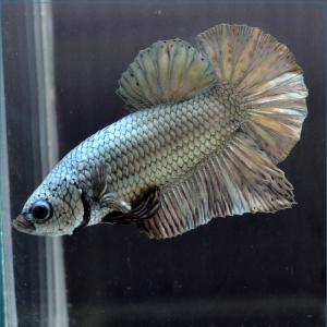 ベタ 熱帯魚 生体  ショーベタ  ダンボパイナップル メス 繁殖 petfish