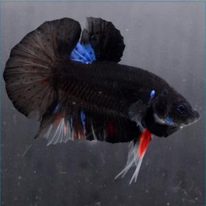 ベタ 熱帯魚 生体  ショーベタ  ダンボラベンダー メス 繁殖 petfish