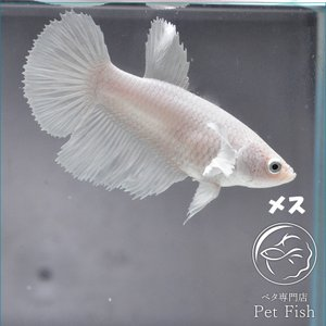 ベタ 熱帯魚 生体  ショーベタ  ダンボホワイト メス 繁殖 petfish
