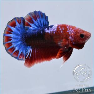 ベタ 熱帯魚 生体 プラカット ヘルボーイ オス レッド系|petfish