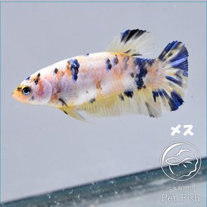 ベタ 熱帯魚 生体  プラカット イエローコイ メス 繁殖|petfish
