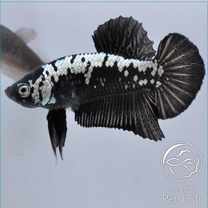 ベタ 熱帯魚 生体 プラカット サムライ ブラック系 オス|petfish