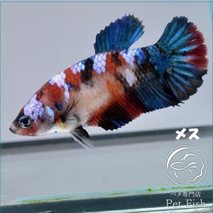 ベタ 熱帯魚 生体  プラカット レッドギャラクシー メス 繁殖|petfish