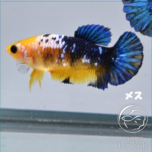 ベタ 熱帯魚 生体  プラカット イエローファンシー メス 繁殖|petfish