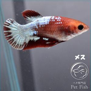 ベタ 熱帯魚 生体  プラカット レッドファンシースターテール メス 繁殖|petfish