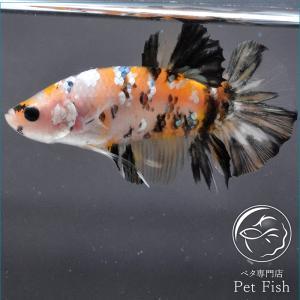 ベタ 熱帯魚 生体 プラカット イエローコイカッパー オス|petfish