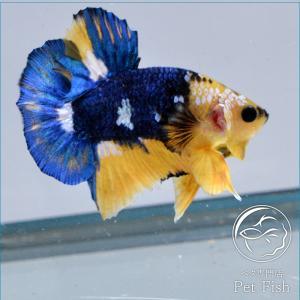 ベタ 熱帯魚 生体 プラカット イエローファンシーショートボディ オス|petfish