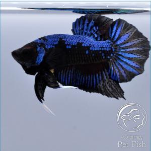 ベタ 熱帯魚 生体 プラカット ブルーブラック オス ブラック系|petfish