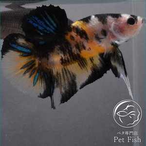 ベタ 熱帯魚 生体 プラカット イエローコイ オス|petfish