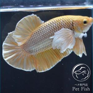ベタ 熱帯魚 生体 プラカット ダンボパイナップル オス|petfish