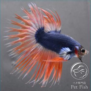 ベタ 熱帯魚 生体 クラウンテール マスコット オス|petfish