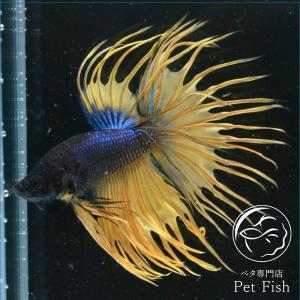 ベタ 熱帯魚 生体 クラウンテール マスタード オス|petfish