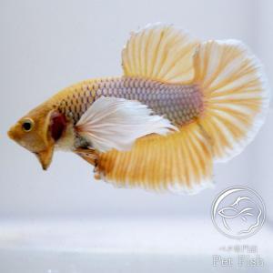 ベタ 熱帯魚 生体 オス ベタ生体 ダンボイエロー