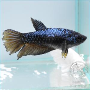 ベタ 熱帯魚 生体  プラカット マスタード メス 繁殖|petfish