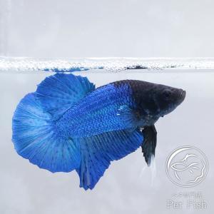熱帯魚 ベタ 生体 オス メス プラガット ターコイズブルー ペア